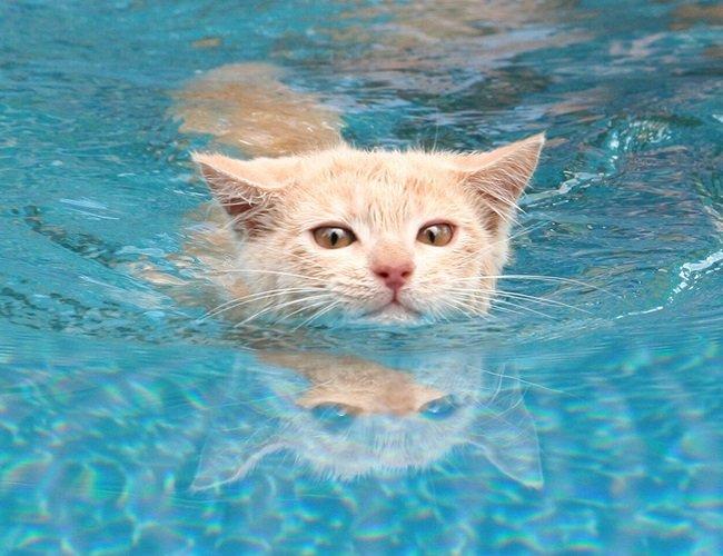 gato nadando en la piscina