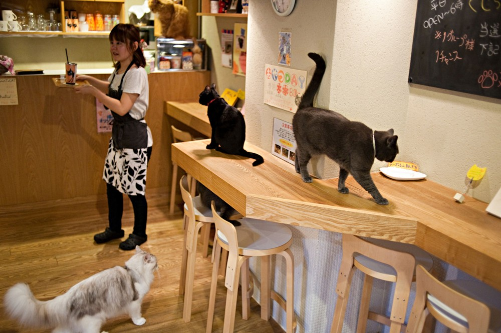 'Cat Time' (Neko No Jikan) cat cafe opened in 2004 as Osaka's first cat cafe where customers pay by the hour to enjoy the company of cats, Osaka, Kansai region, Japan, Sunday, Jul 3, 2011. Osaka has ten cat cafes.///Osaka Cat Cafe