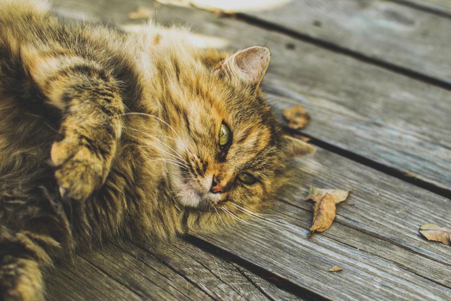 migatoesunico-gato-peludo
