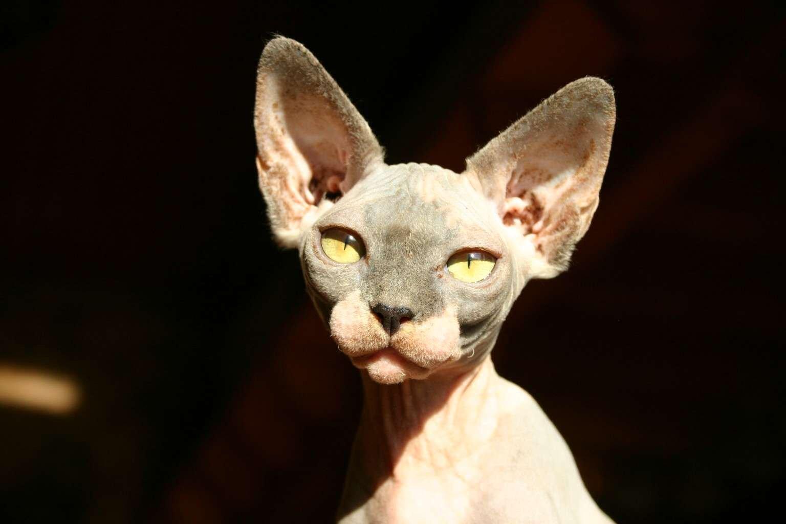 gato-egipcio