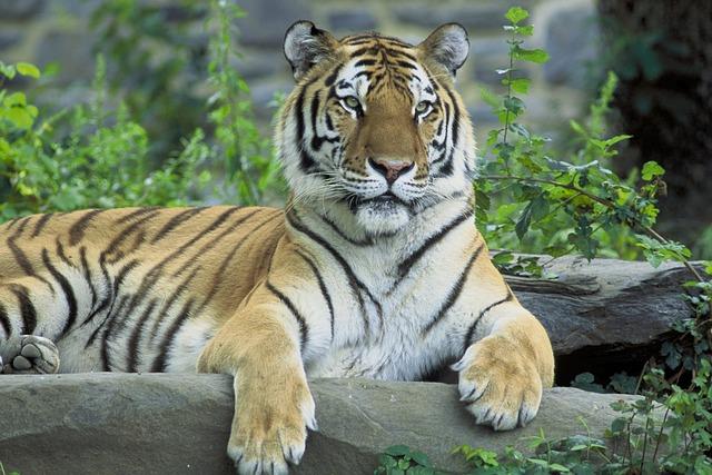 migatoesunico-tigre-siberiano
